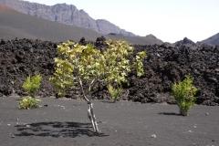 Figuier au sein d'un verger dans la caldéra du Pico, volcan sur l'île de Fogo. Juillet 2016.