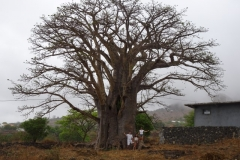 Le baobab. Cap-vert. Juillet 2016. Forestiers du Monde®