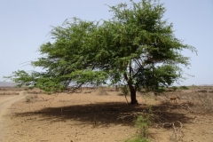 Acacia indigène du Cap-vert. juillet 2016. Forestiers du Monde®