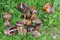 Article-escargot-3-Small-