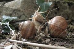 Accouplement d'escargots de Bourgognne. Helix pomatia.