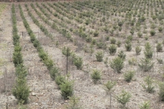 plantation epiceas (Small)