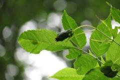 Jeune frêne présentant une foliole destinée à former un nid de soie pour le développement des chenilles de Damier du frêne.