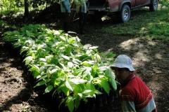 Production de plants de cacaoyer. Agro-foresterie en vue de la production de chocolat. Costa Rica. 2016.
