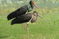 Photographie-F-CROSET-Une-Cigogne-noire-adulte-bec-et-pattes-rouges-avec-un-jeune-de-lannée