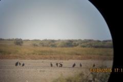 Observation de cigogne noire en Mauritanie