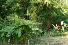 La renouée dans son milieu naturel (Small)