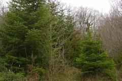 Arbre de noel Nordmanns forestiers