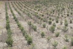Plantation d'épicéa (Picea abies) pour Noël