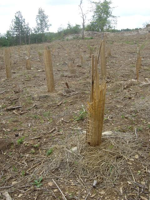Des plants sont abroutis malgré la protection biodégradable en bambou. Savigny-les-Beaune. Juin 2011